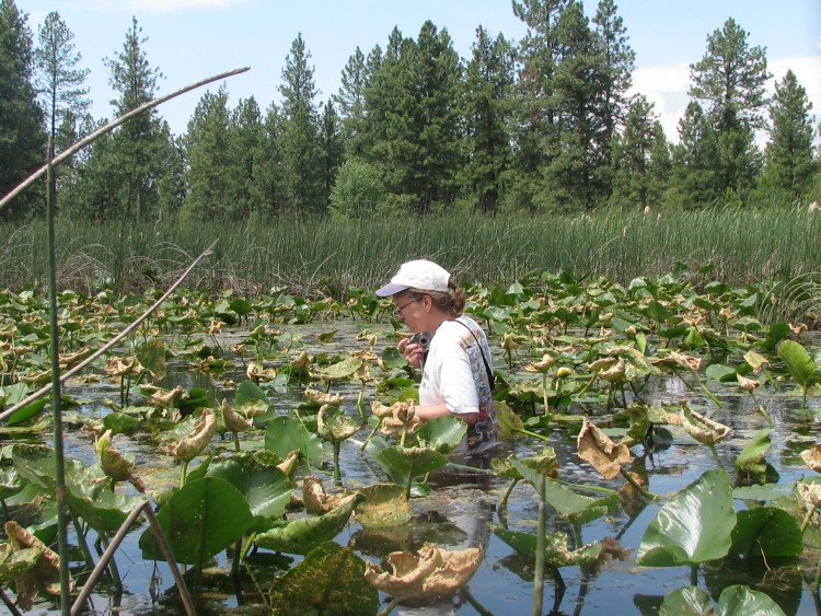 Brenda McCracken is waist deep looking for water howellia (Howellia aquatilis) in Spokane County.