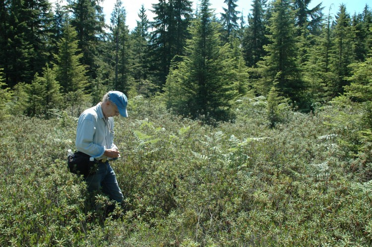 volunteer Fred Stark surveys for few-flowered sedge (Carex pauciflora) in King County.