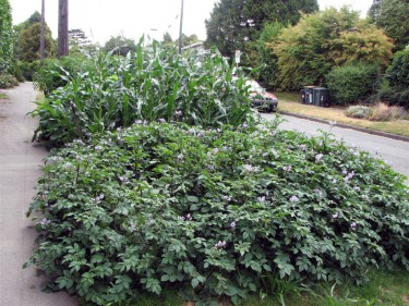 Urban gardening in Seattle's Beacon Hill neighborhood.