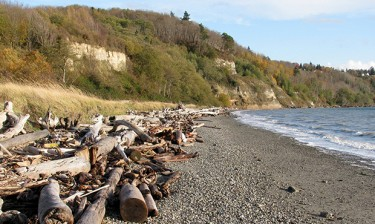 This beach along the shore of Discovery Park in Seattle was once armored. Now, bluffs can naturally feed the beach below.