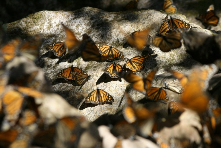 Monarchs resting on rocks.