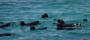 Galapagos penguins.