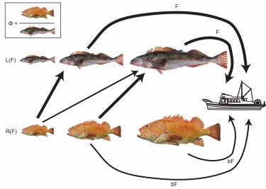 This diagram illustrates the dynamics of lingcod (top) and rockfish.