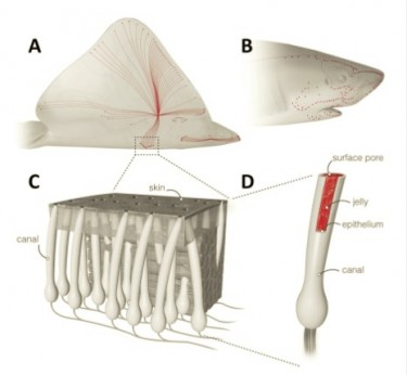 Image of the ampullae of Lorenzini found in sharks, skates and rays.