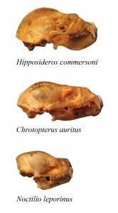Skulls from three bat species.