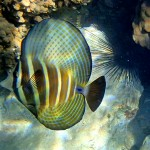 a photo of a sailfin tang fish