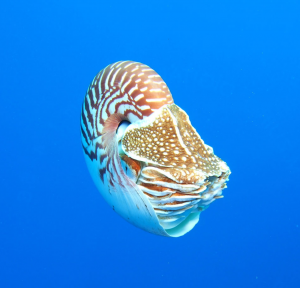 Nautilus swimming