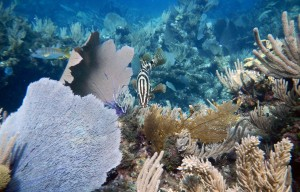 The Nassau grouper, pictured center with stripes, is one of the larger fish that lives around coral reefs.