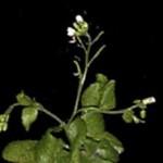 a mutant plant