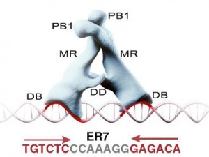 An artist's depiction of two ARF proteins interacting with one another as they bind to DNA and switch on expression of a target gene.