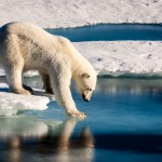 Polar bear testing the ice thickness