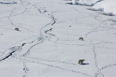 three polar bears walk across ice