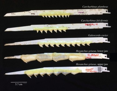 Shark teeth were attached to reciprocating saw blades using epoxy.
