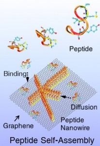 Cartoon of peptides assembling into wires.