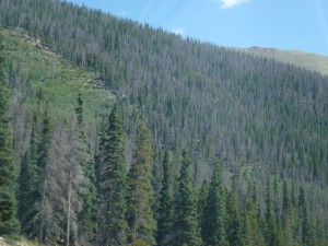 dead conifers on slope