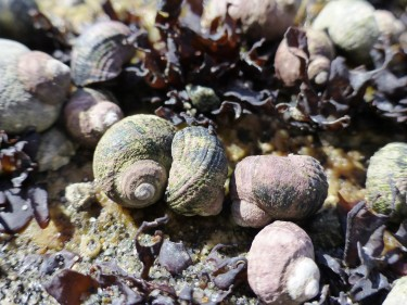 native marine snail