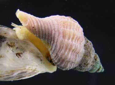 invasive snail feeding on an oyster