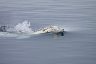 A beluga whale surfaces for air.