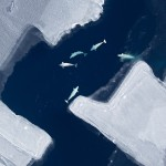A beluga whale pod in the Chukchi Sea.