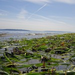 An eelgrass bed near Bainbridge Island, Washington.