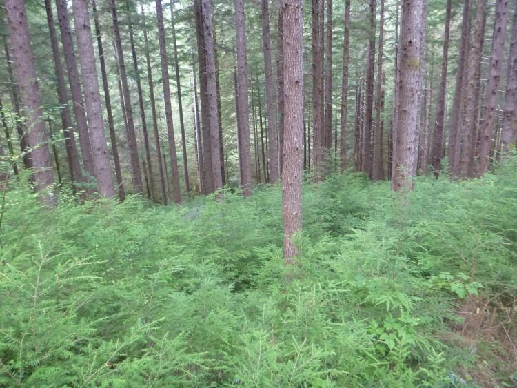 western hemlock trees growing