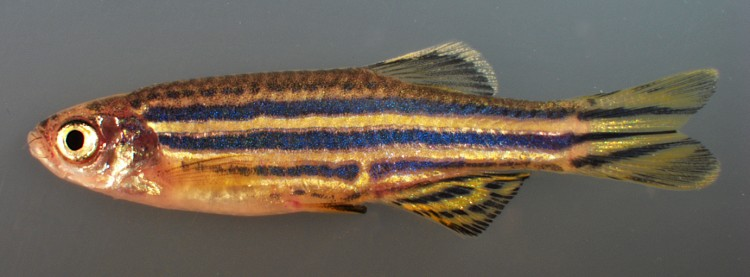 An adult zebrafish