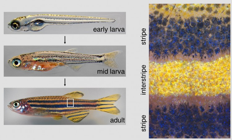 Pictures of fish, and a close-up view of their pigmentation patterns