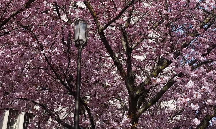 Cherry blossoms outside Gerberding Hall are nearly in full bloom.