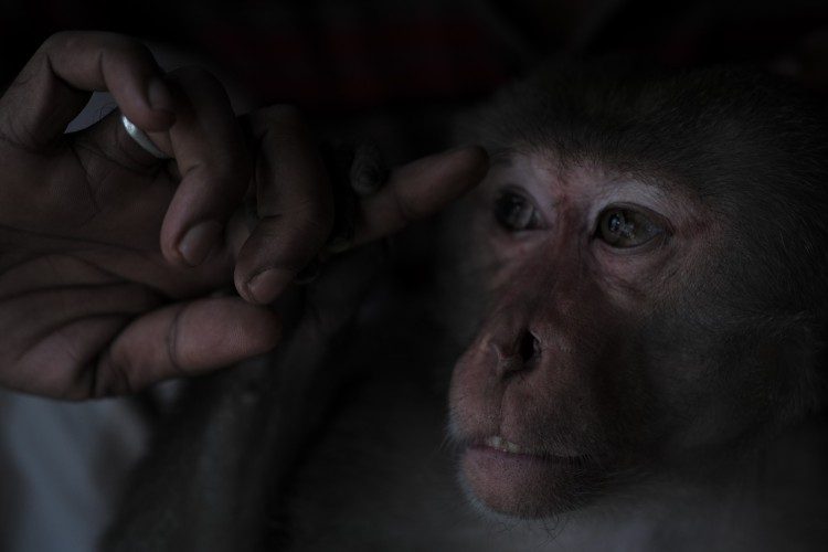 A pet macaque sits with its owner in Bangladesh. Such familiarity could facilitate the transmission of infectious diseases from owner to monkey.