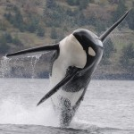 A killer whale leaping from the water.