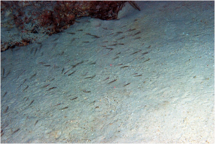 school of gobies