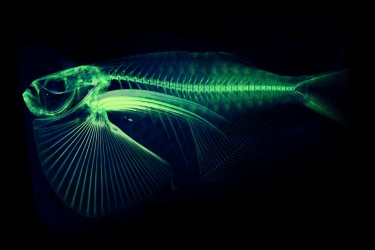 A CT scan of the spotfin hatchetfish.