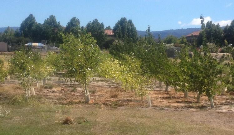 Probiotics help poplar trees clean up Superfund sites   UW News