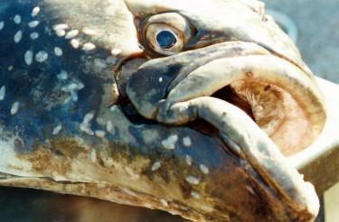 head of old halibut fish