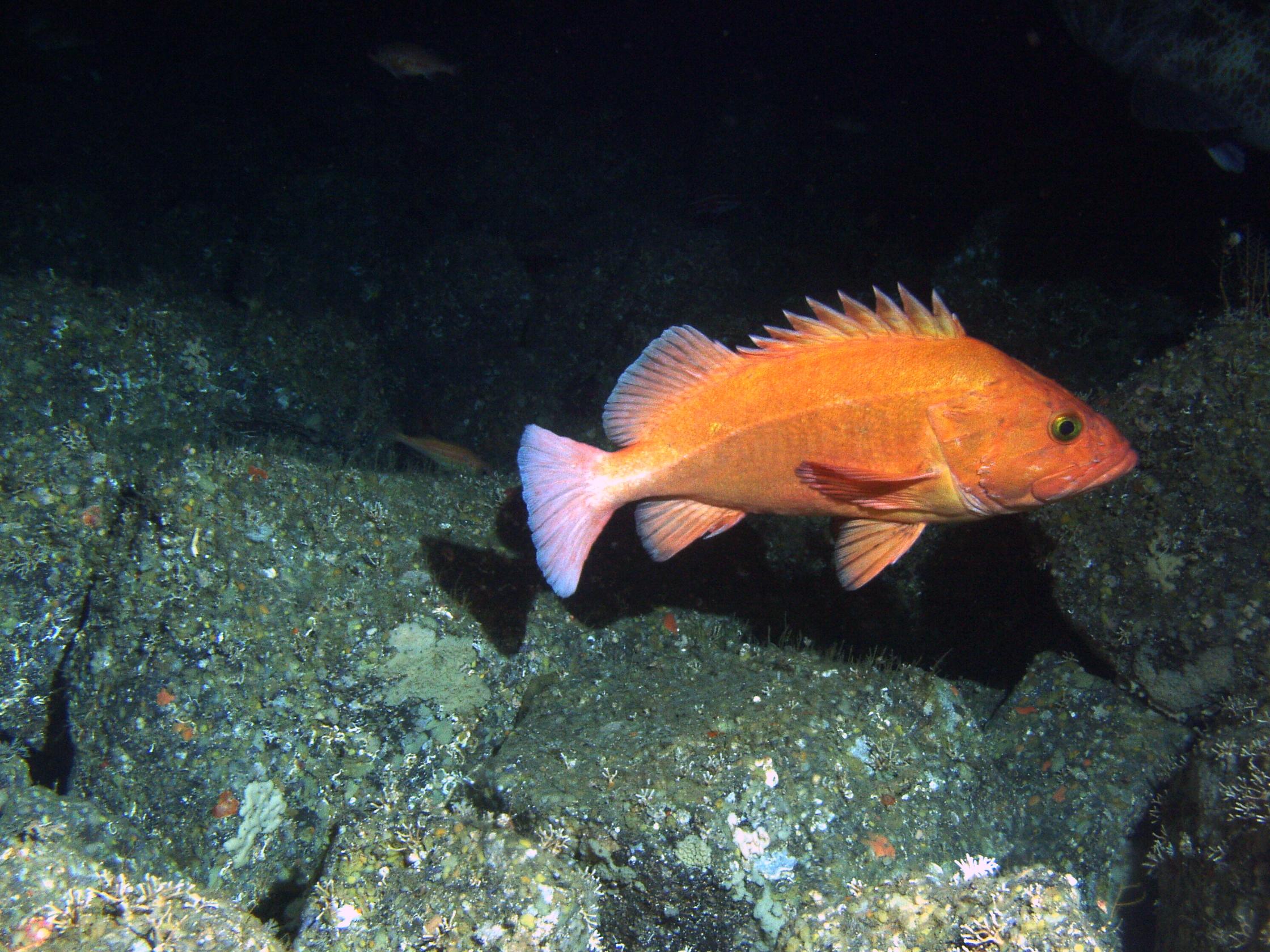 old fish few and far between under fishing pressure uw news