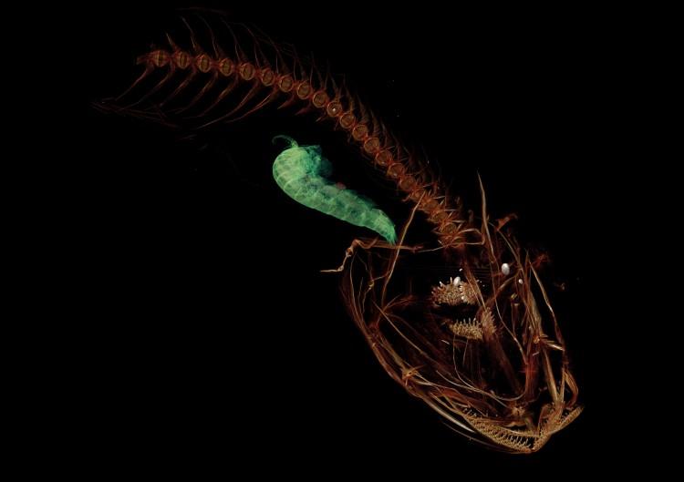 mariana snailfish