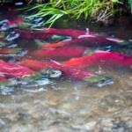 Alaska sockeye salmon.