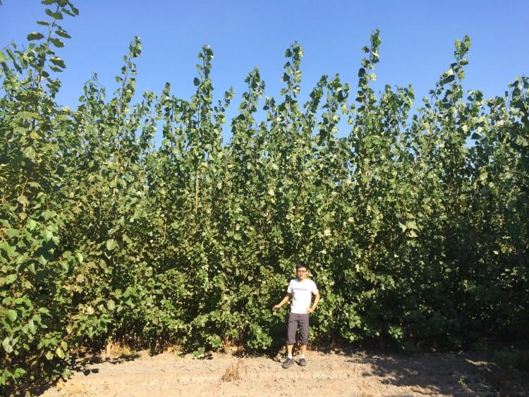 small poplars