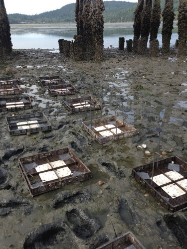Oyster farms near Olympia, Washington.