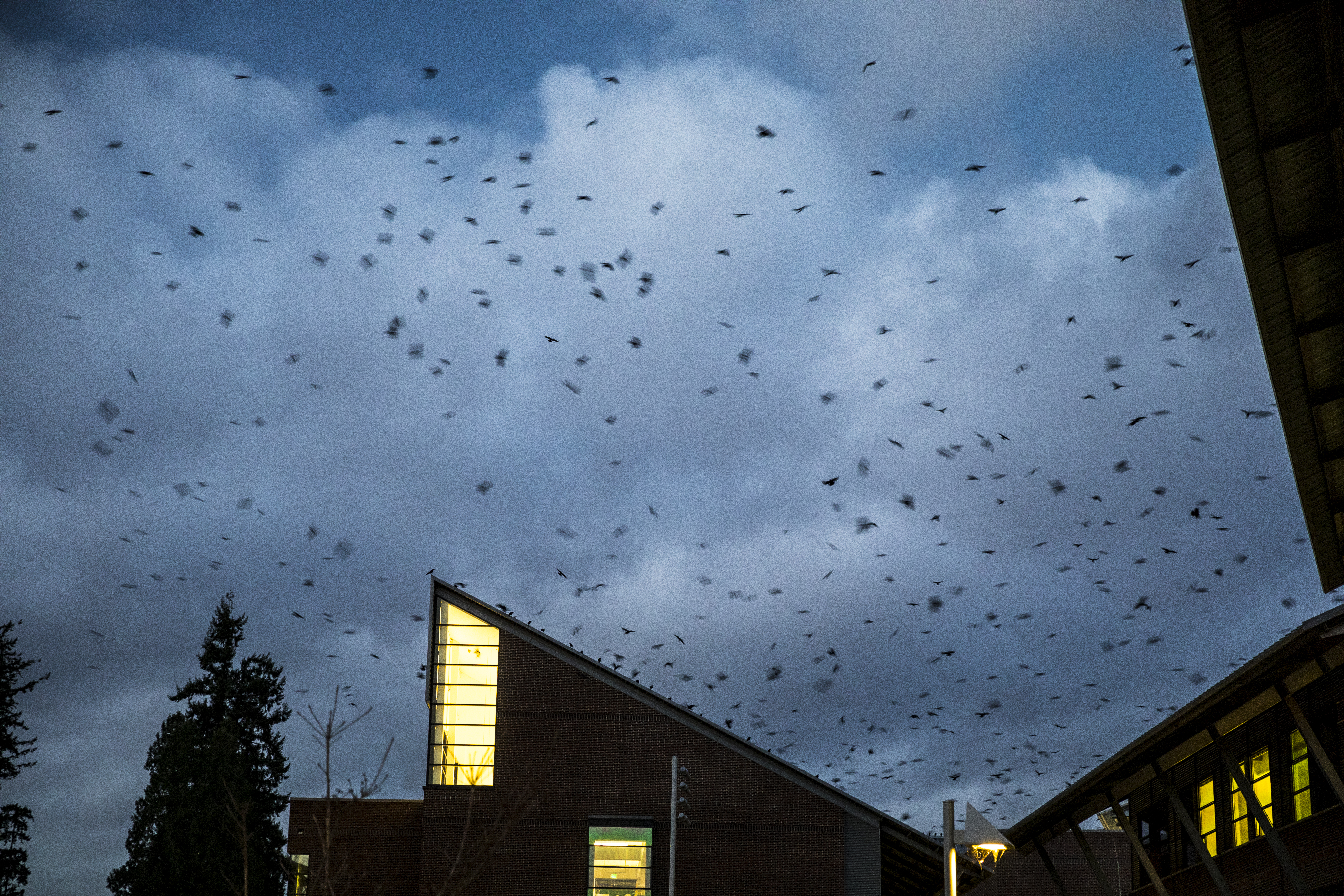 Rooftop wiretap aims to learn what crows gossip about at