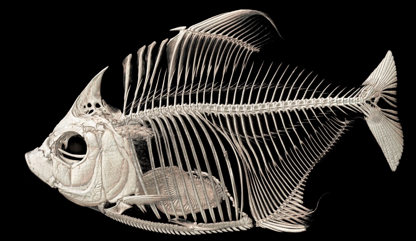 Scale-eating fish adopt clever parasitic methods to survive