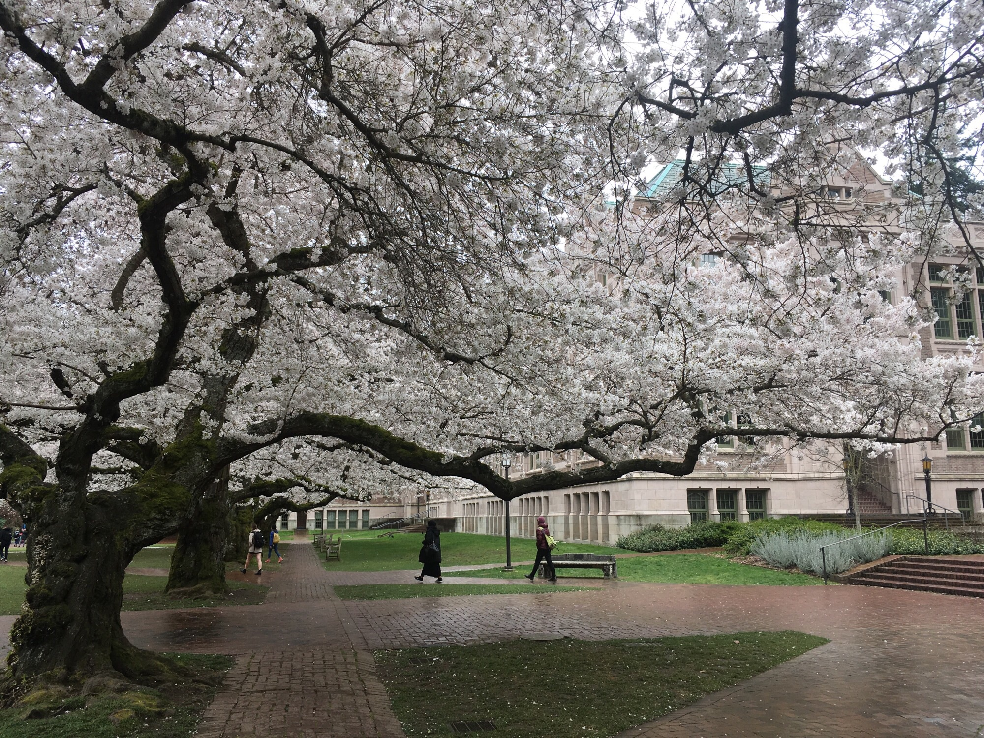 Despite Snow In Seattle Cherry Blossoms On Track For Typical Season