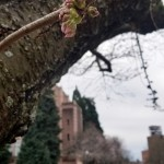 "The UW cherry blossoms are in ""Stage 2"" of their blooming process."