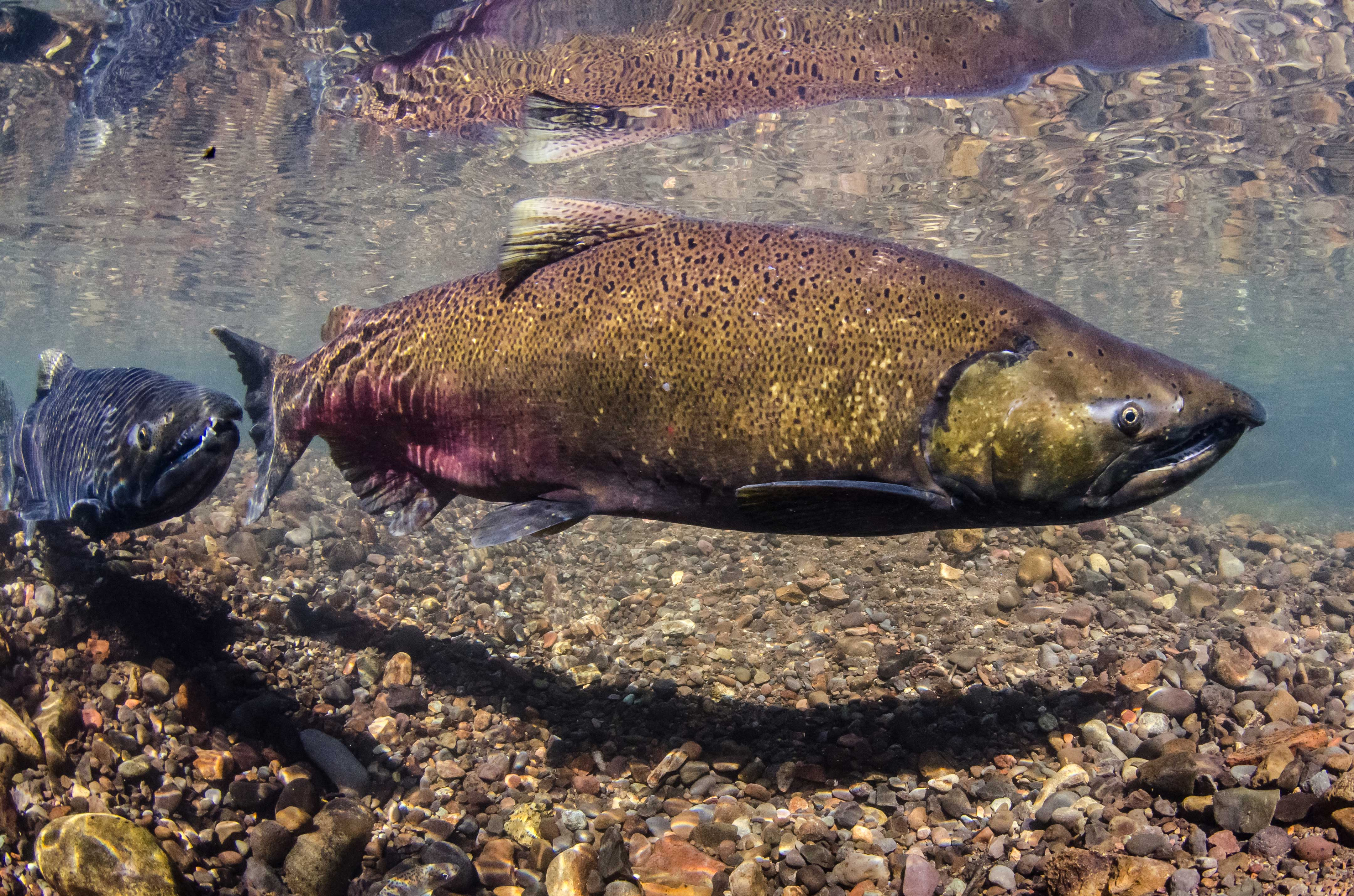 Largest Chinook salmon disappearing from West Coast | UW News