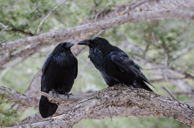 A pair of ravens.