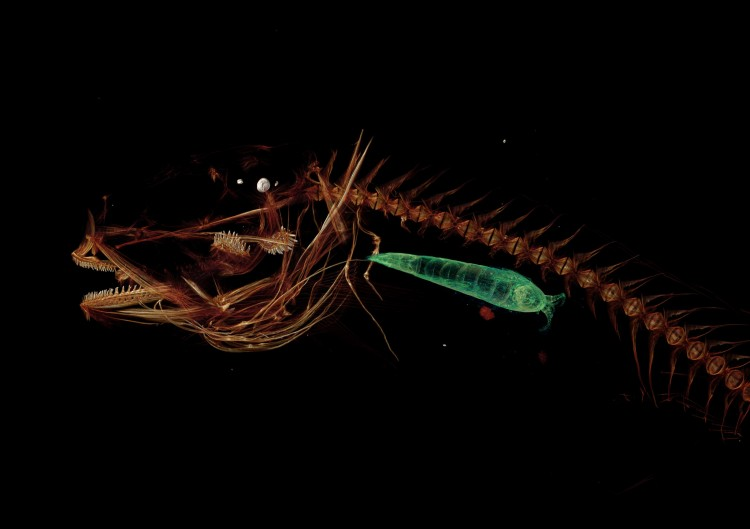 CT scan of Mariana snailfish