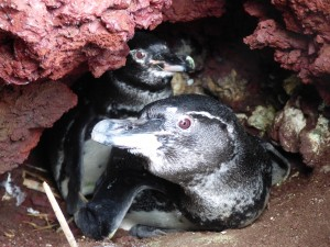 Two penguins in a nest.
