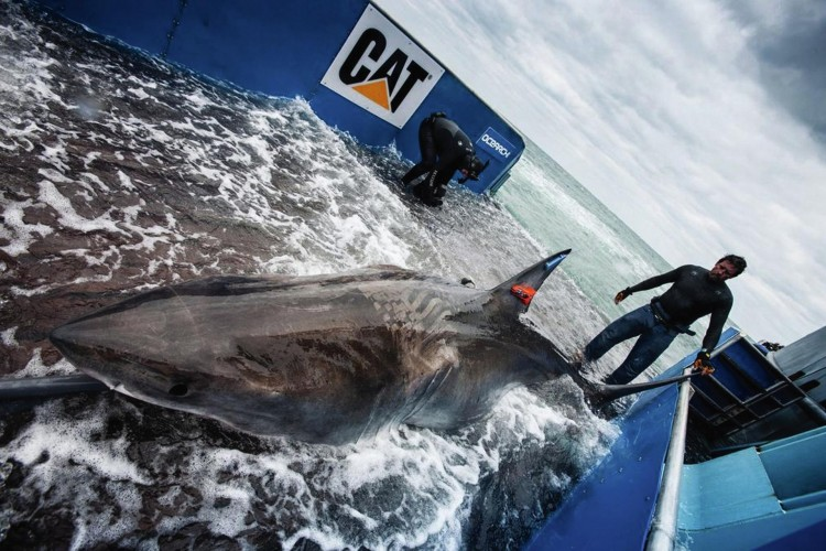 tagged shark on deck of ship