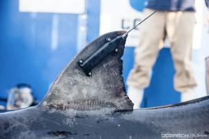 tag on shark fin