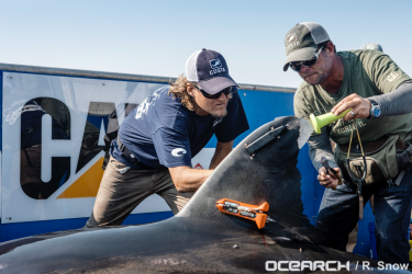 researchers putting instruments on shark fin